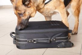 8887539 - airport canine. dog sniffs out drugs or bomb in a luggage.